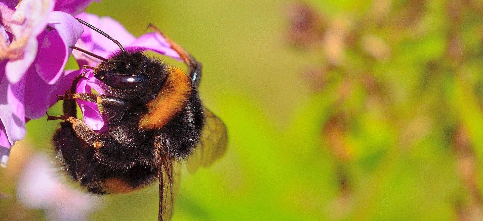 Hummel (Pictureman2014/pixabay)